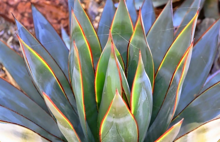 Blue Glow Agave leaves